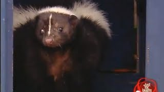 Live skunk in locker prank